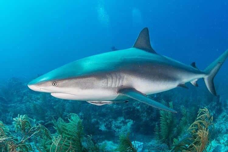 Bilimsel Cevaplarla Skualen Yağı Olarak Bilinen Köpek Balığı Karaciğer Yağı Faydaları ve Zararları